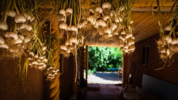 Fresh picked garlic hanging from the rafters to dry.