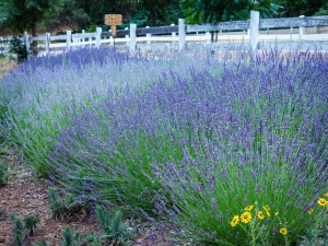 English Lavender along the entrance fence line.